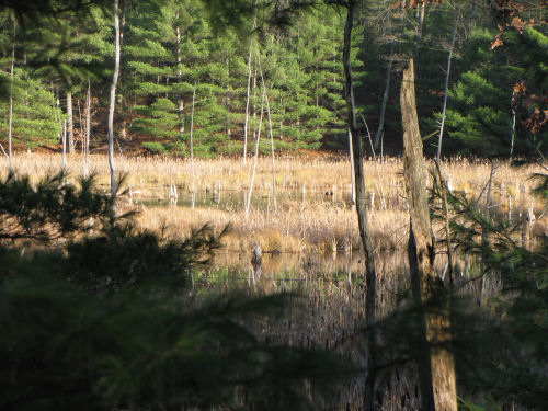 cattail marsh at Pine Valley Pathway