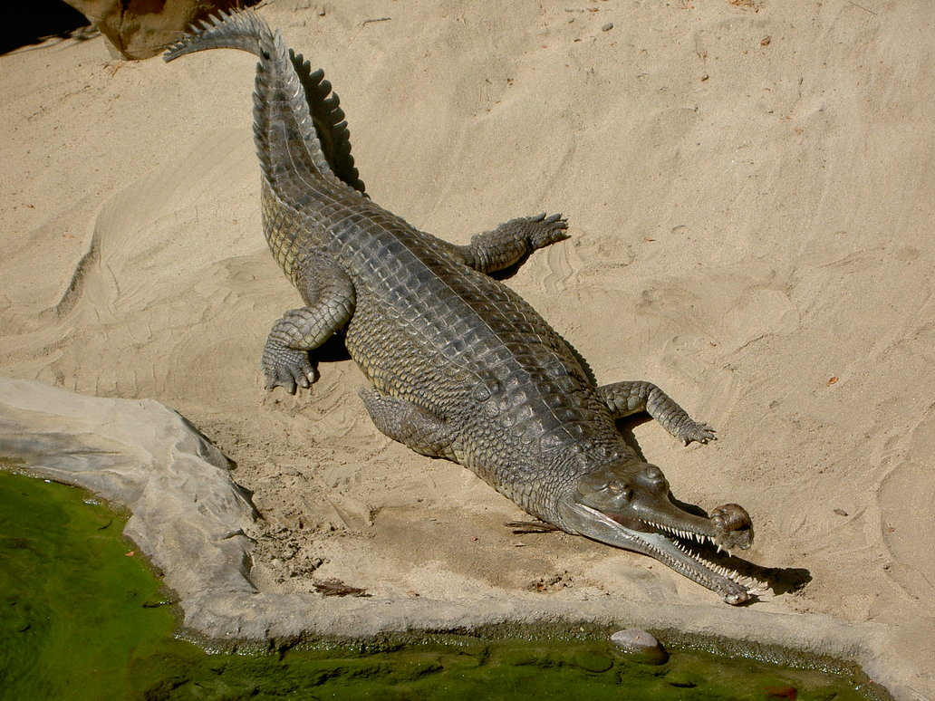 Gharial Animal ... Predator Animals