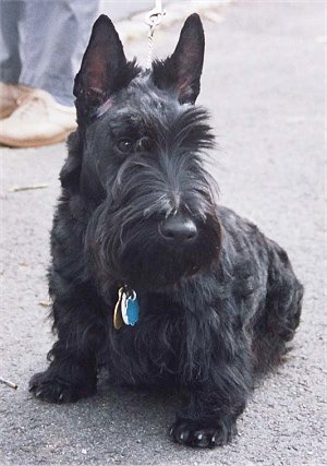 Scottie Dogs For Sale Scotland