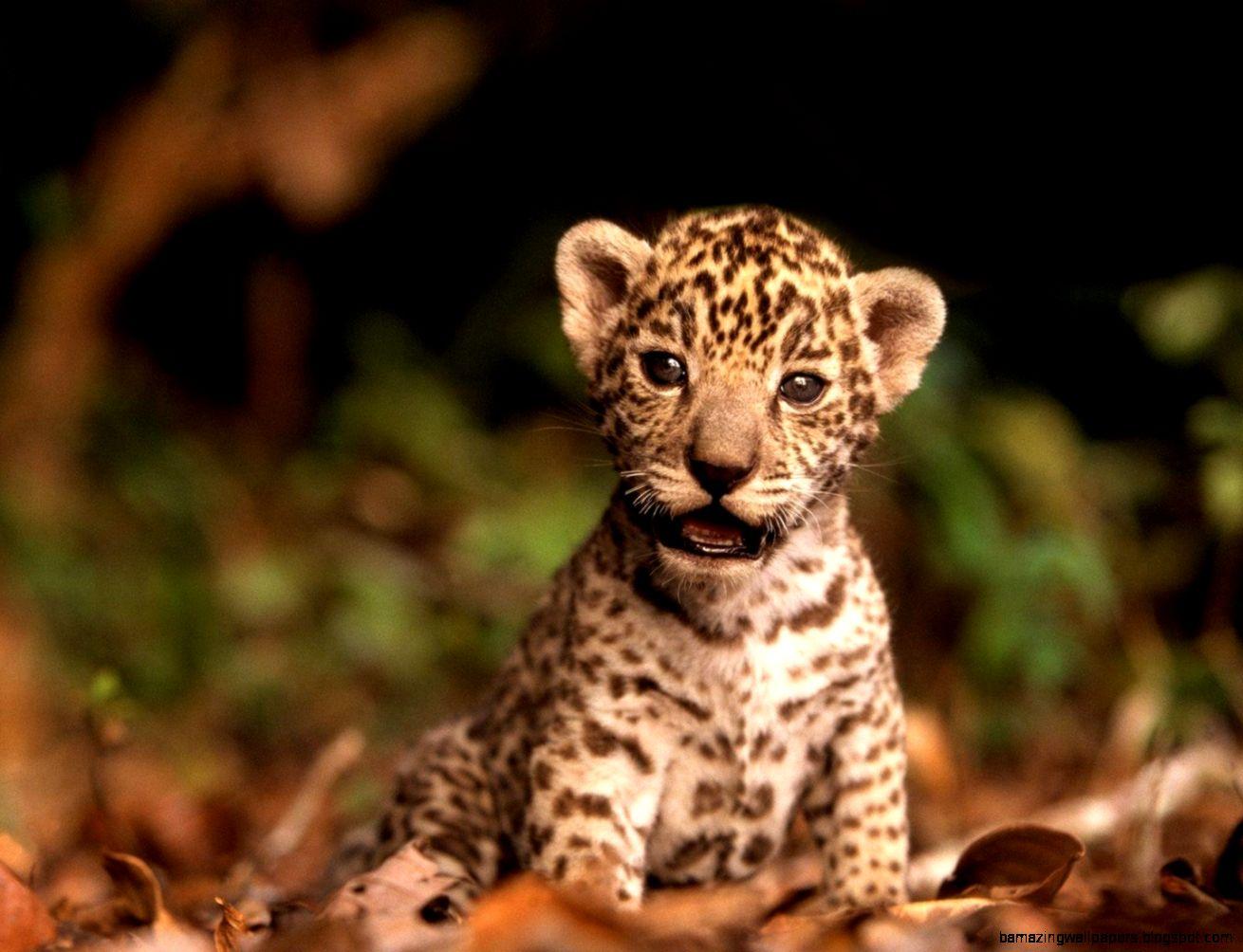 Sweet Baby Leopard Wallpaper HD 7491 Wallpaper mobile phones hd