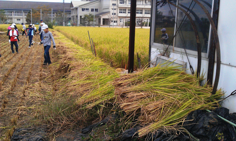 Japanese elementary school kids harvesting rice by hand