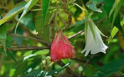 Secoya de Santa Helena Trochetiopsis erythroxylon