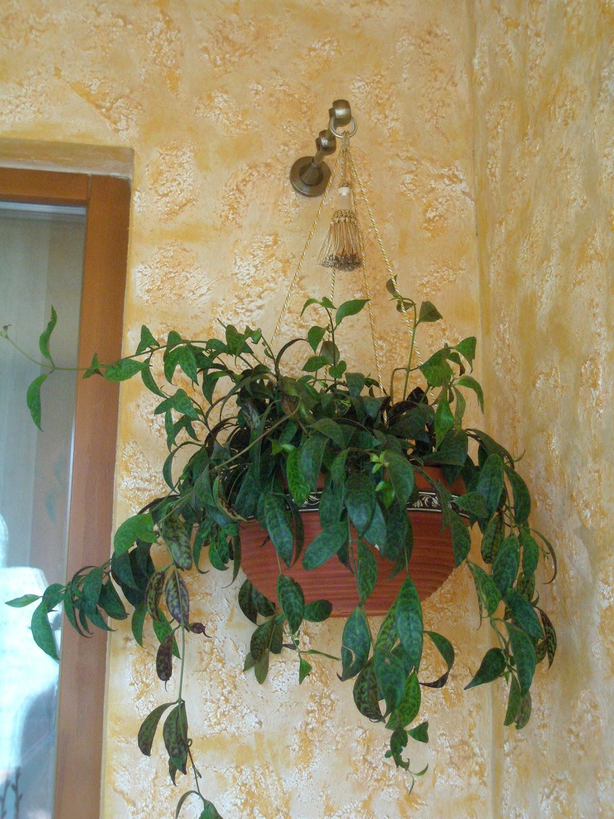 Фото цветы комнатный висячих