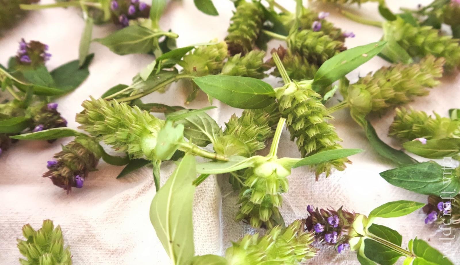 Self heal tea prunella vulgaris