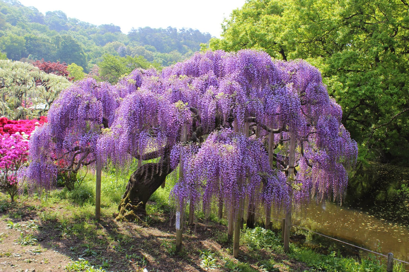 Adventures in japan ashikaga flower park Wisteria flower tunnel path in japan