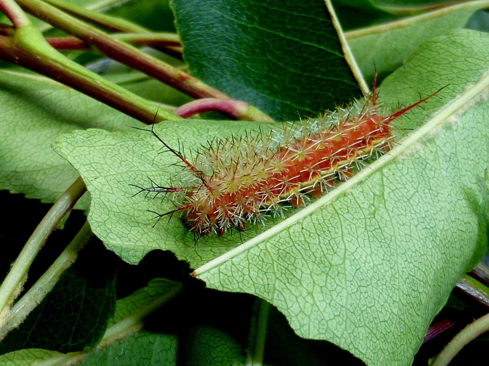 Periphoba arcaei caterpillars L4