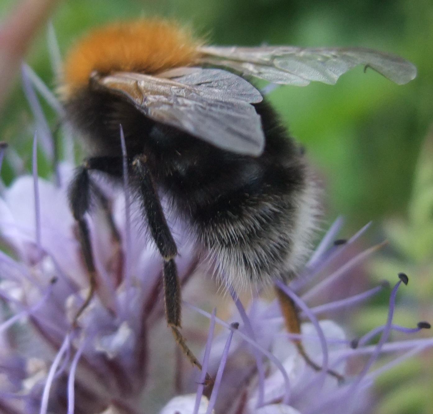 bee inch black hairy