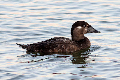 Surf Scoter (female) at Shoreline Lake, Mountain View, CA