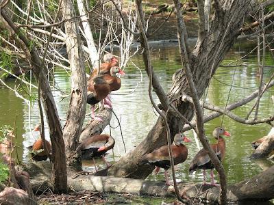 black-bellied whistling ducks:  Audubon Park, NOLA