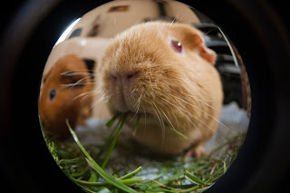 Guinea pig photography