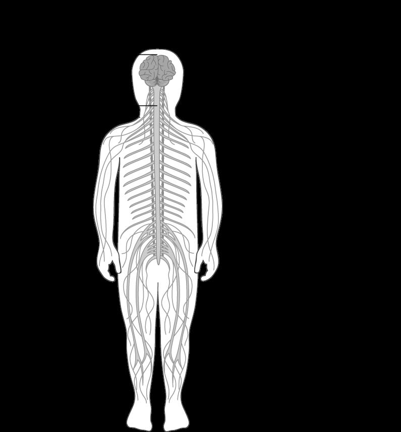 Anatomie du système nerveux | Récap\' IDE