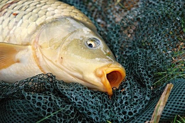 En que coger al salmón en la pesca rusa 3.6