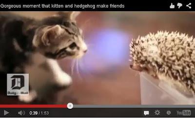video lucu anak kucing yang penasaran dengan landak albino