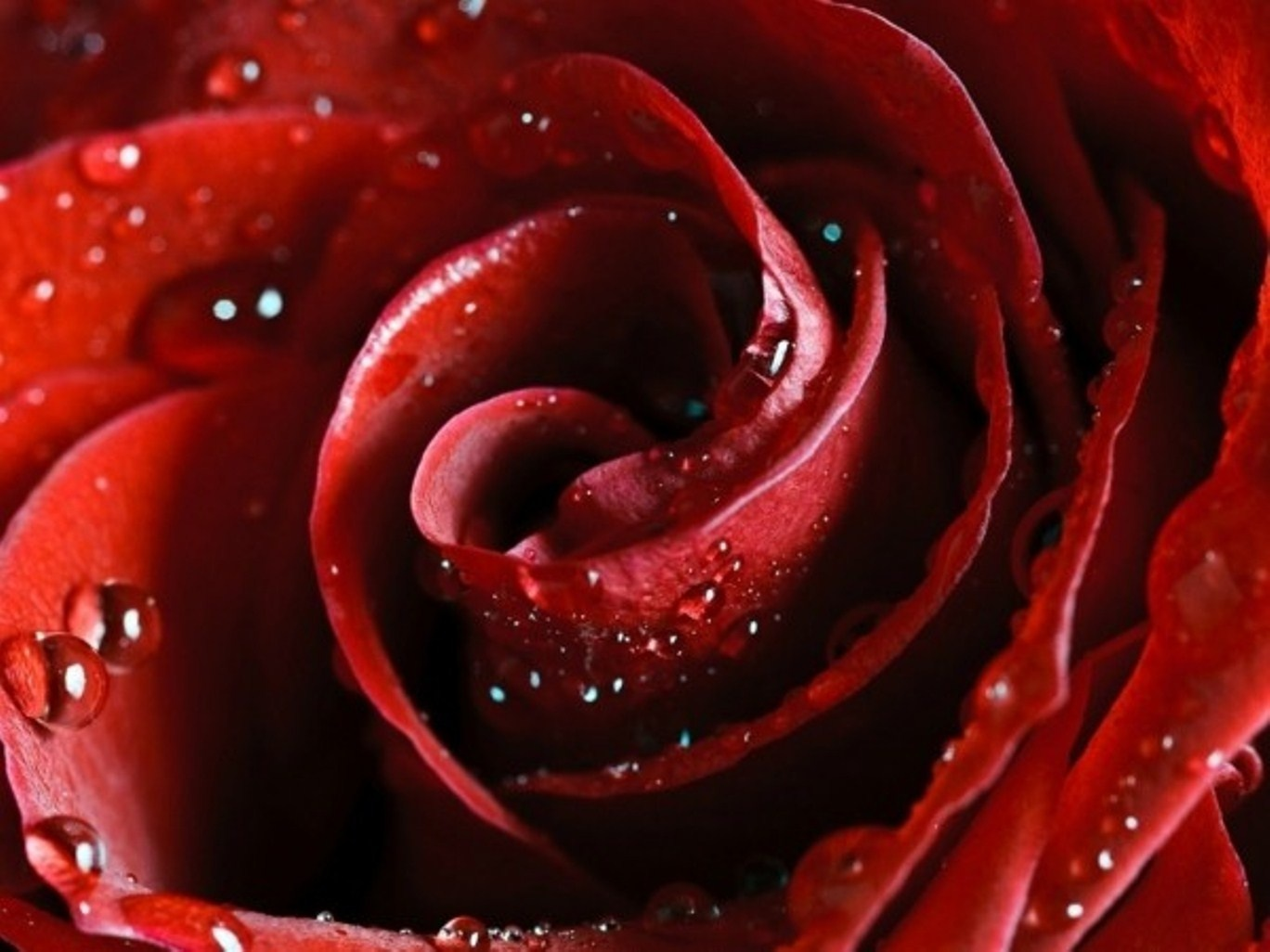 Wallpaper Rose Red Dew Drops On The Desktop