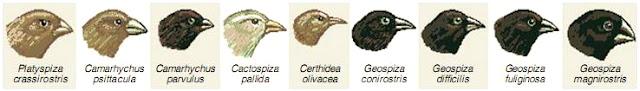 teori evolusi charles darwin burung finch