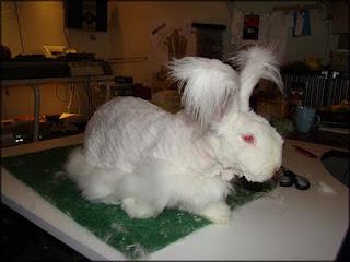 Billedresultat for kanin der bliver klippet