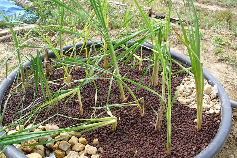 Notre maison la catiche les plantes dans les bassins de for Les plantes de maison