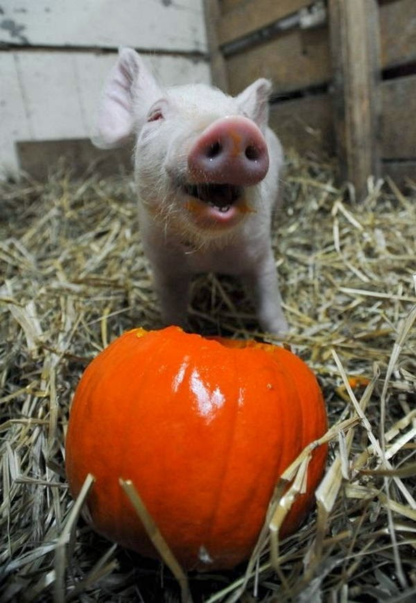 Funny animals of the week - 21 March 2014 (40 pics), funny animal pictures, pig eating pumpkin