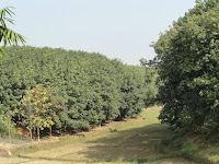 RUBBER PLANTATION IN GOMATI DISTRICT