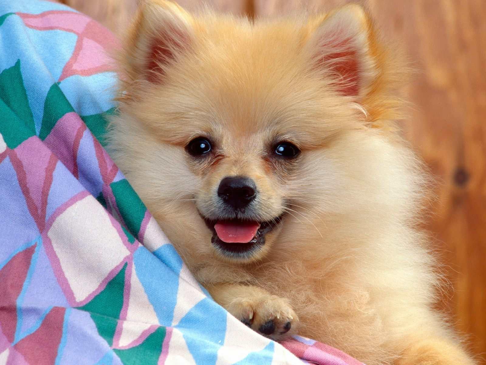 Pomeranian Dog - Small Dog Breeds | pet.38