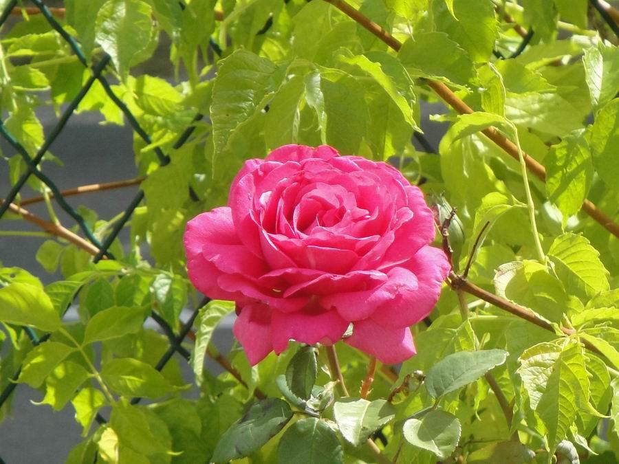 Cocoon garden trio de rosiers - Deplacer un rosier ...