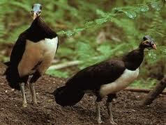 Maleo satwa endemik Sulawesi dan Buton....!!! | http://indonesiatanahairku-indonesia.blogspot.com/