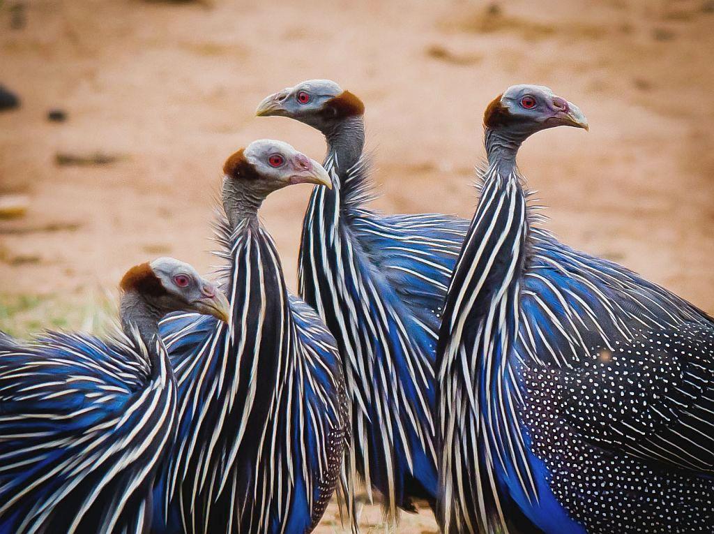 Vulturine guineafowl - photo#4