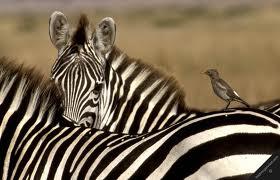 Zebra dan Burung Oxpecker