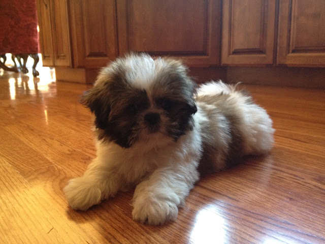 Shih Tzu puppy laying on the floor