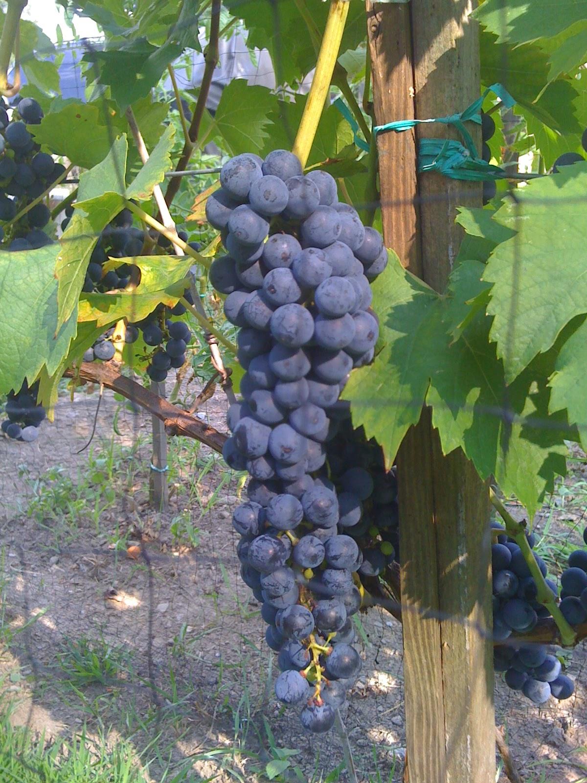 backyard vineyard u0026 winery 2015