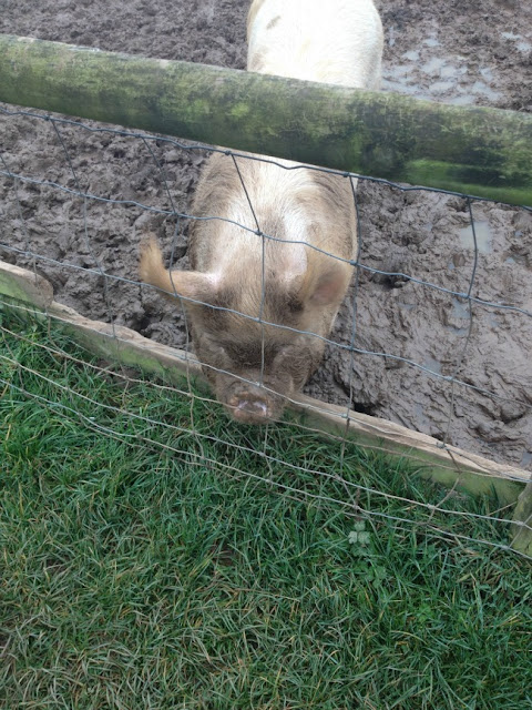 a pig by a fence in mud