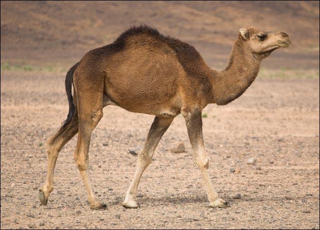 Ancestors of camel desert was living in the Snow ~ Distruber