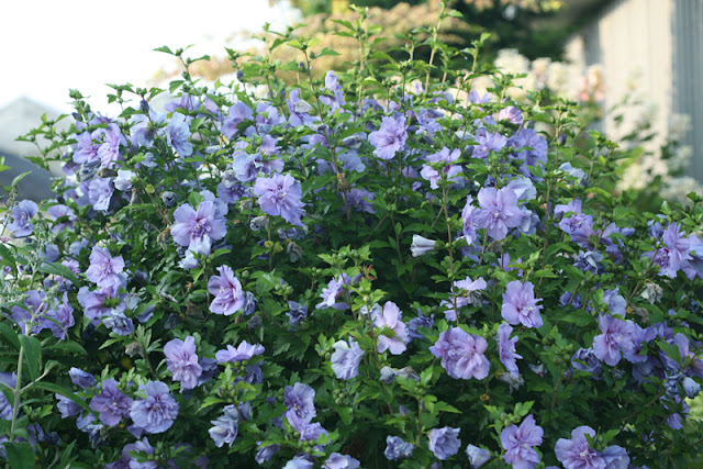 Blue Chiffon rose of Sharon from Proven Winners