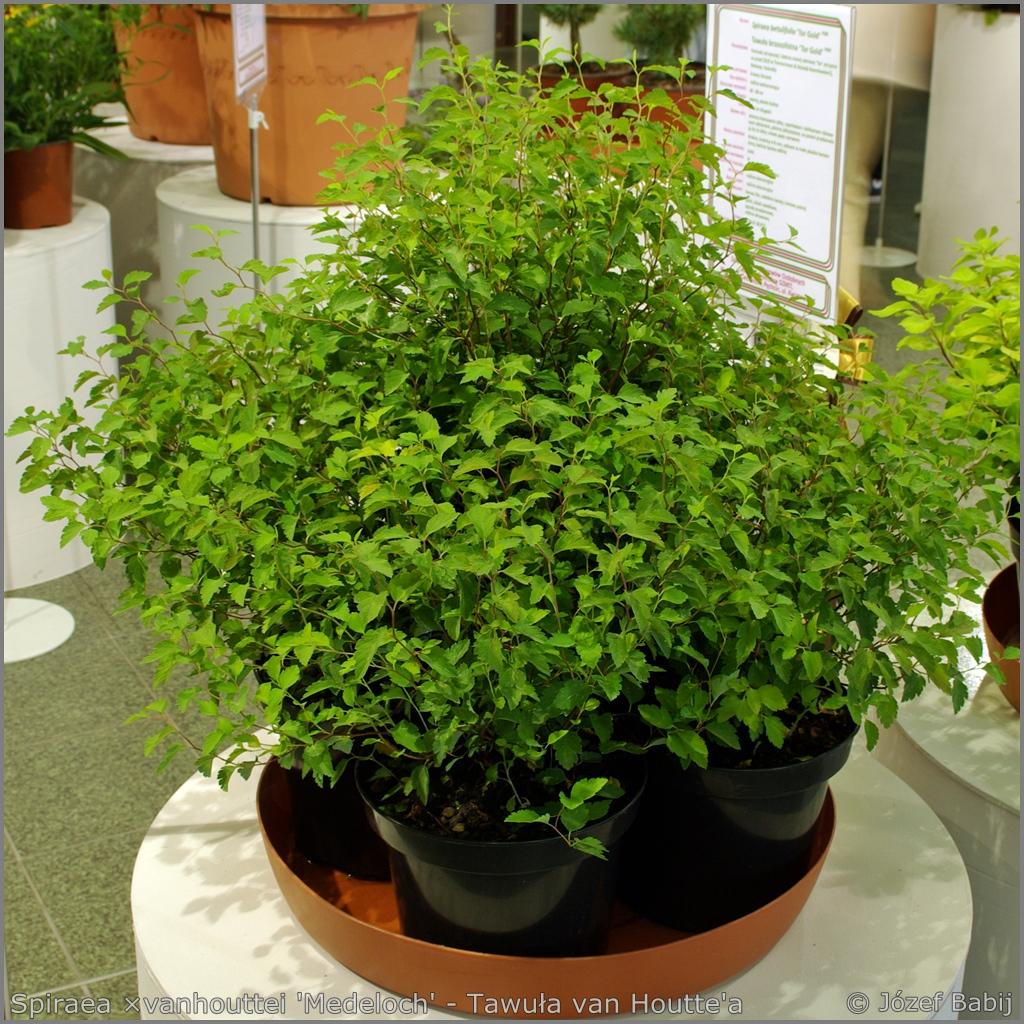 Spiraea ×vanhouttei 'Medeloch' - Tawuła van Houtte'a 'Medeloch'