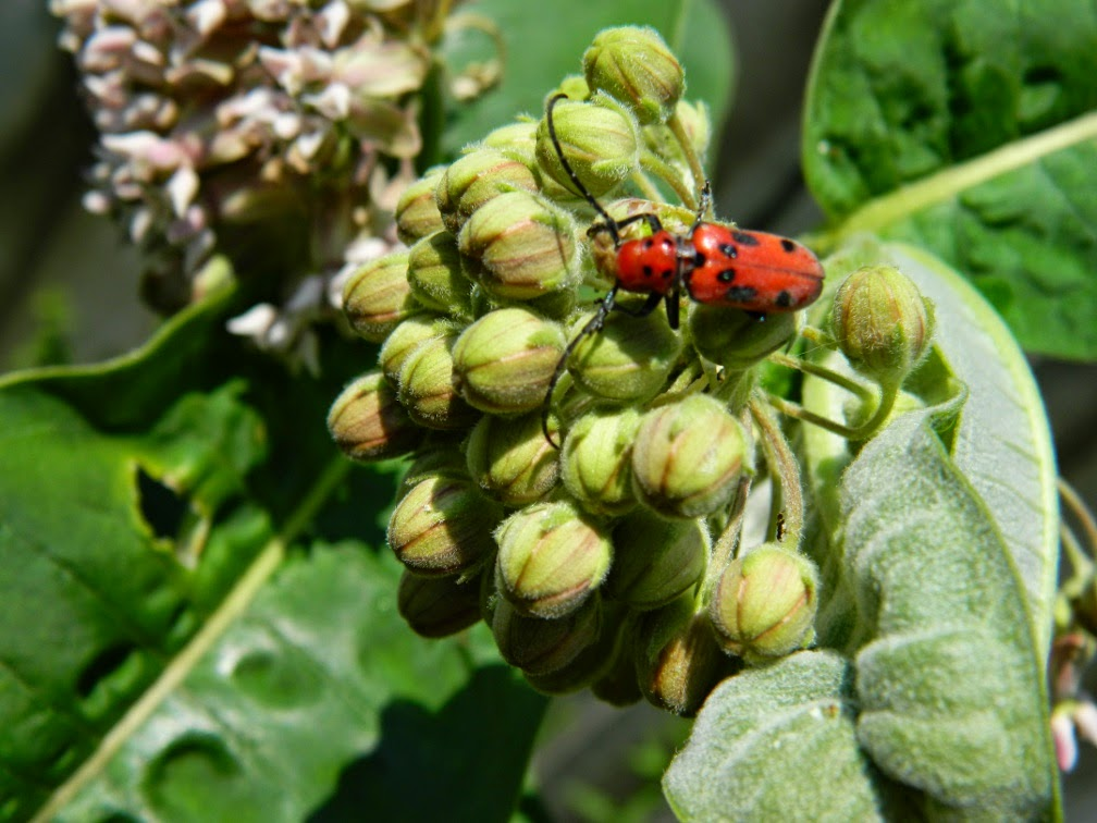 Red milkweed beetle Tetraopes tetrophthalmus by garden muses-not another Toronto gardening blog