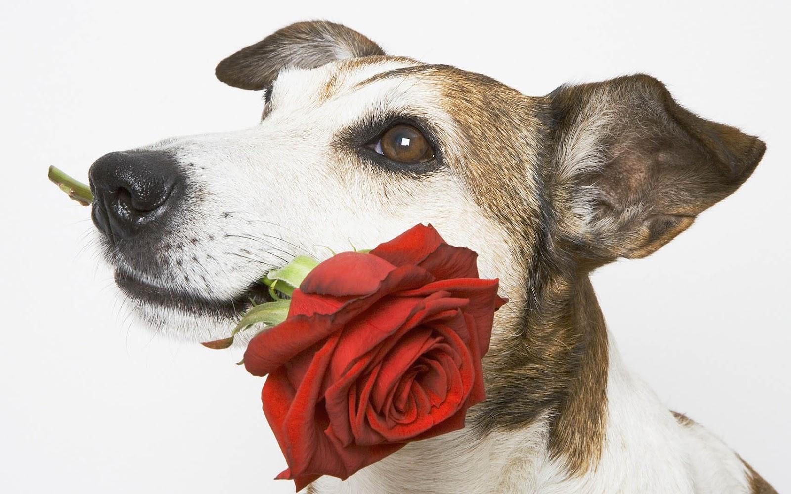 Met een hond met een roos in zijn bek hd bloemen wallpaper foto