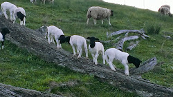 Lambs playing on log