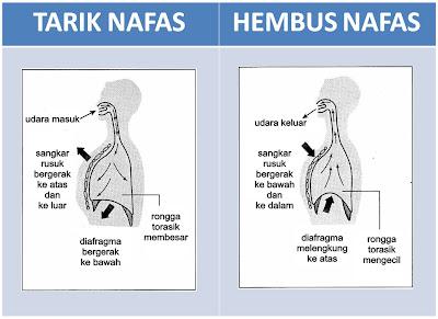 Mekanisma tarik nafas dan hembus nafas