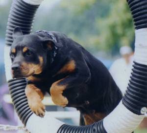 Dog Rottweiler Training Taking Care and also T...