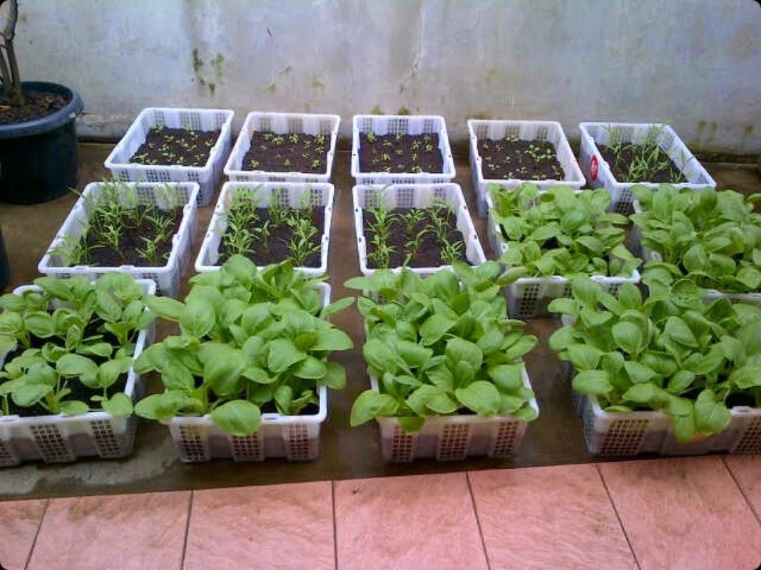 Kebun Sayuran Minimalis Di Rumah