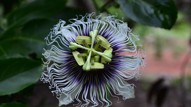 Passion flower (© Flavio Conceicao Fotos/Getty Images) 648