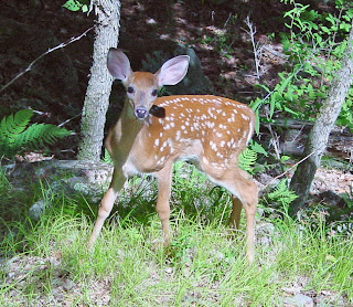 Feisty Fawn