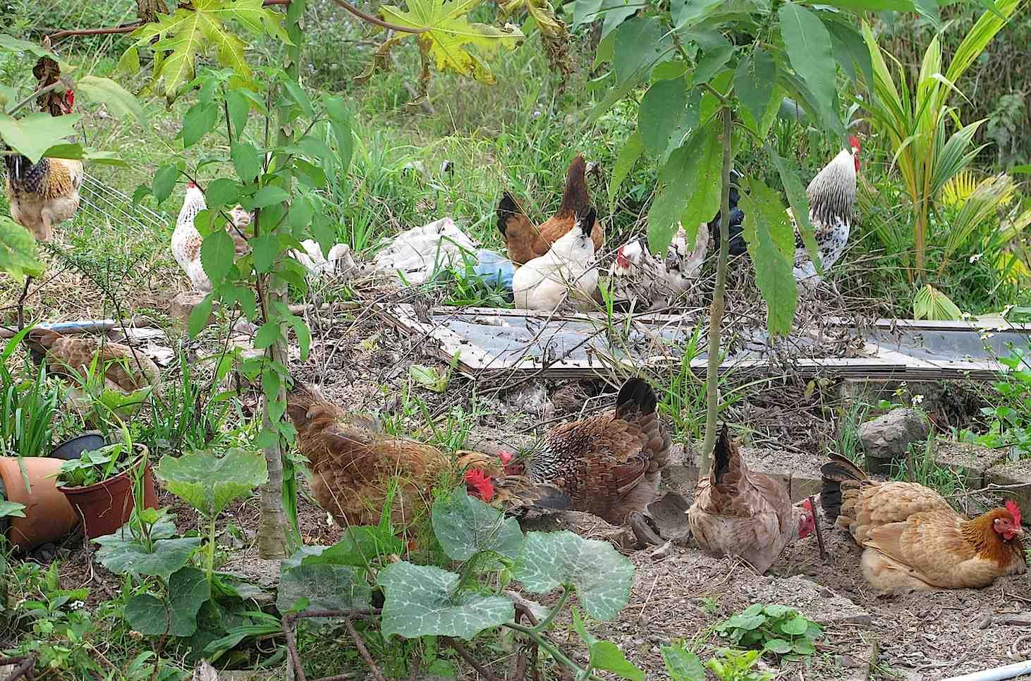 Des jardins et des poules for Au jardin de la nymphe bleue