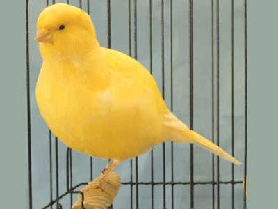 Jenis dan Macam Burung Kenari