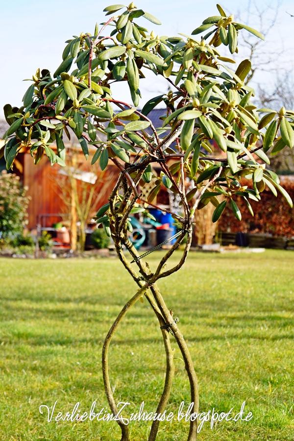 Rhododendron stark beschnitten und gebunden mit neuer Krone