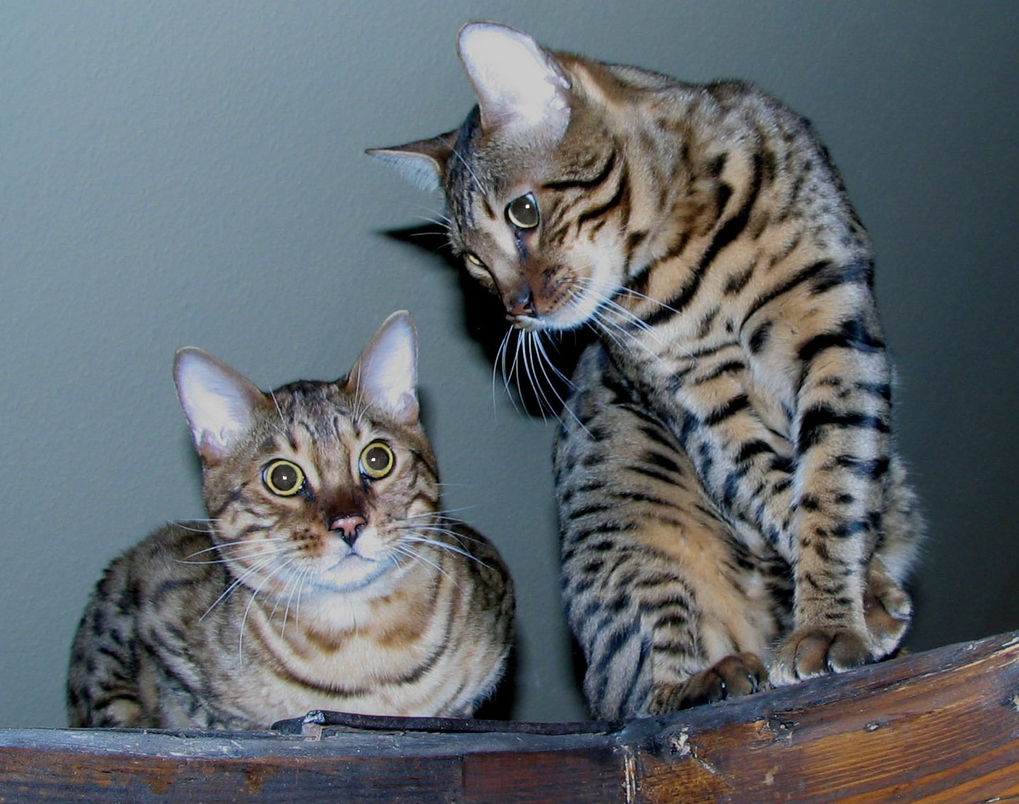Most Popular Bengal Cat Names | my cat names