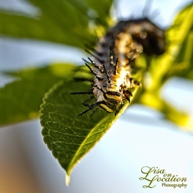 Mexican fritillary caterpillar on Incense passion vine, 365 photo project, macro, Lisa on Location photography, San Antonio, New Braunfels, Austin