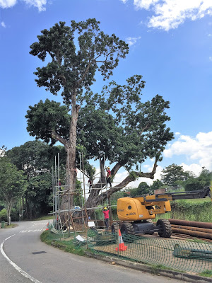 TREES IN SINGAPORE AND SAVING SOME