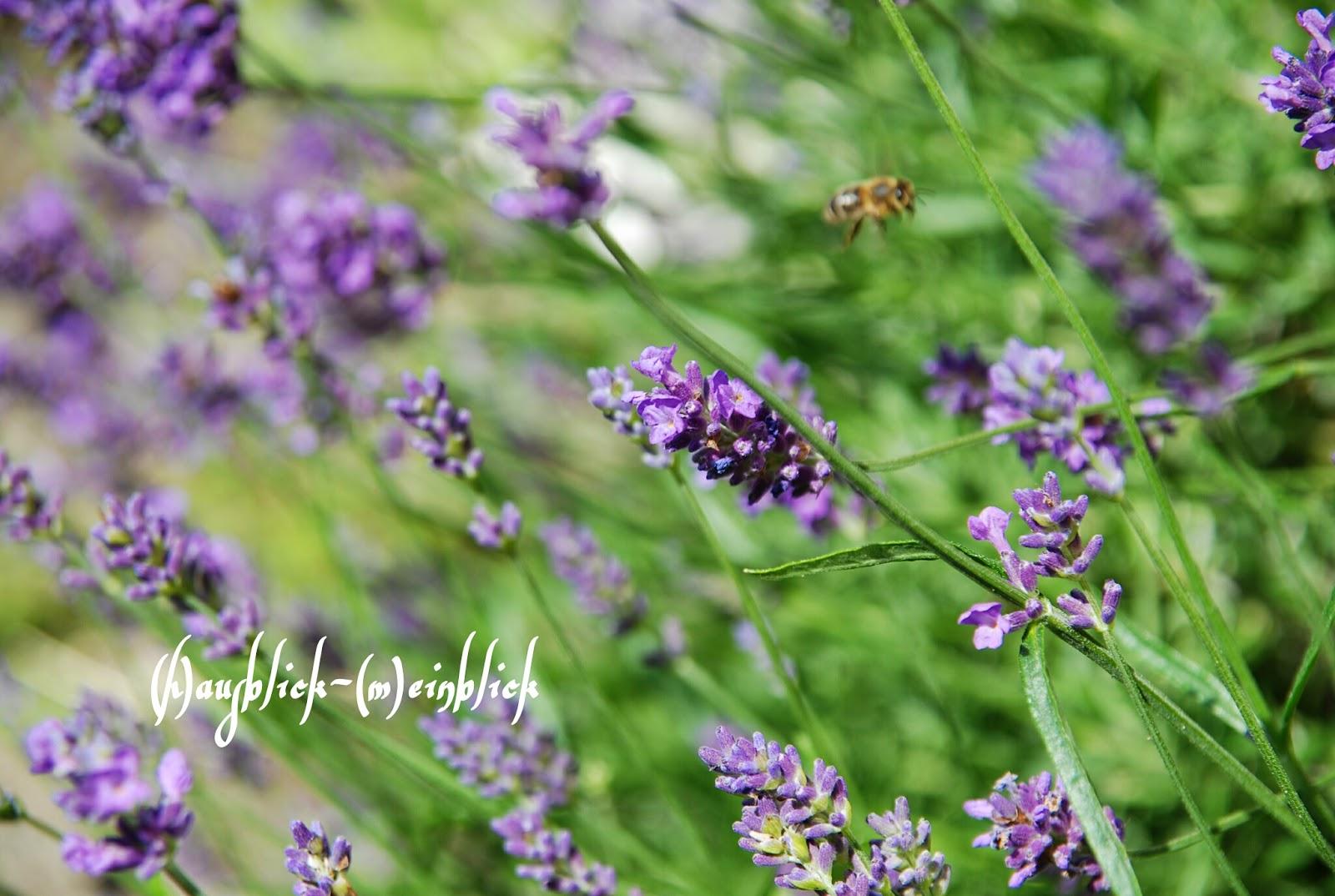 mögen bienen lavendel