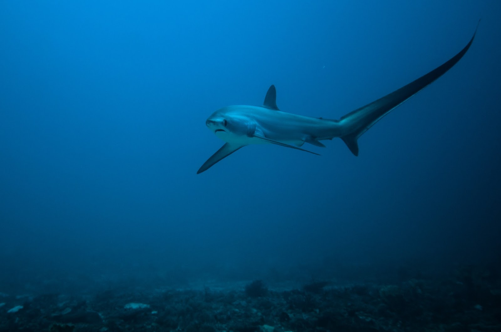 Thresher shark at Monad Shoal